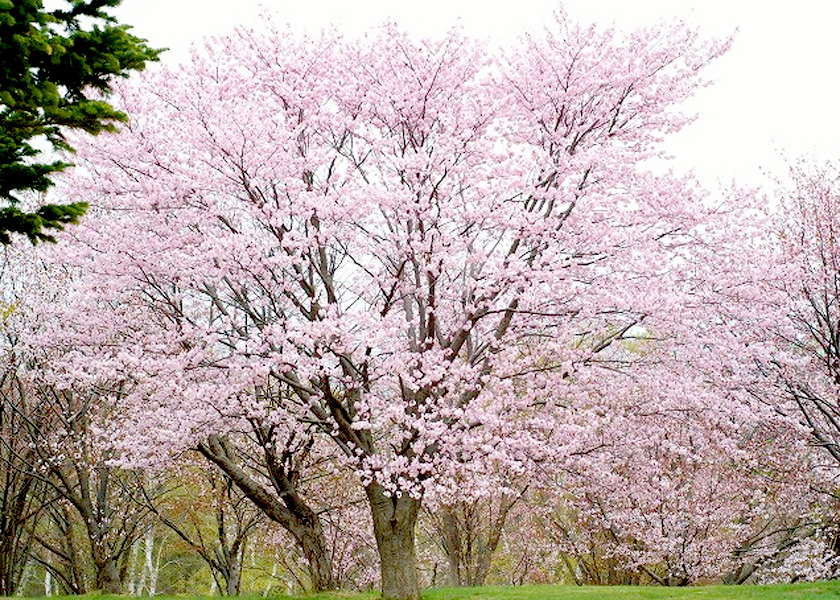 桜の名所 -旭山記念公園-