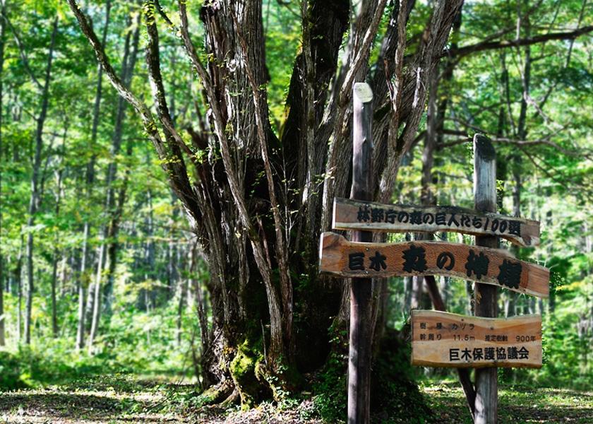 森の神様|樹齢900年 富良野美瑛観光