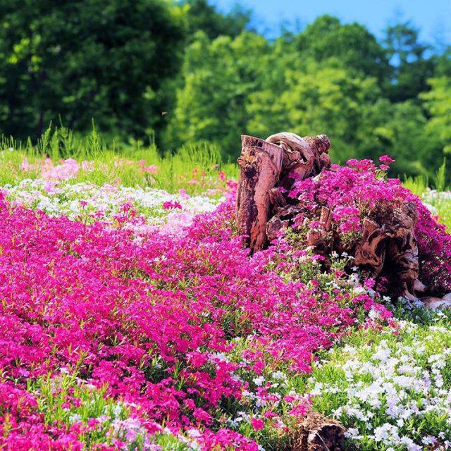 三島さんの芝桜庭園で北海道の春を楽しむ