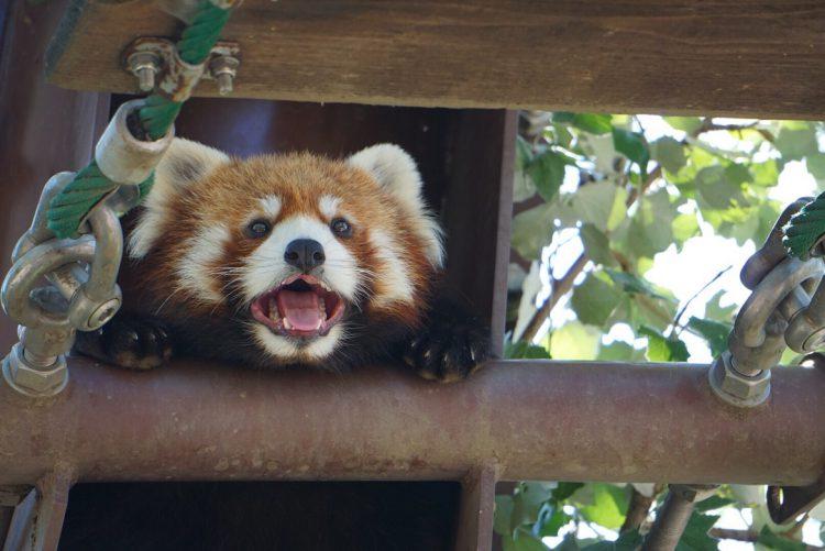 旭山動物園の動物|レッサーパンダの吊り橋とワシ・タカ舎に行ってきました